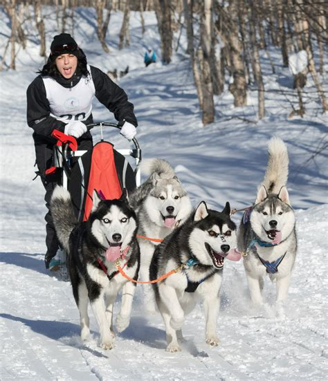 how to sled dogs why do they say quot mush quot to make sled dogs go