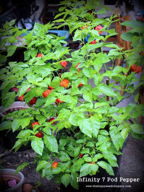 infinity chilli seeds infinity 7 pod pepper the hippy seed company your