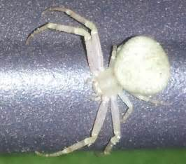 Spider White Spiders At Spiderzrule The Best Site In The World About