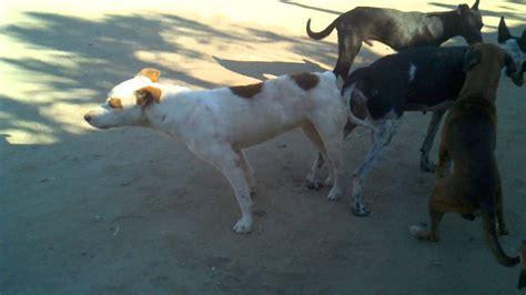 perros apareamiento perros apareandose