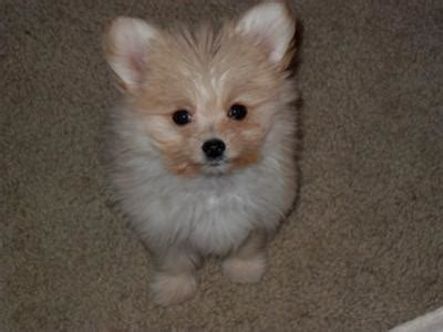 how to potty your pomeranian puppy maltese pomeranian puppy