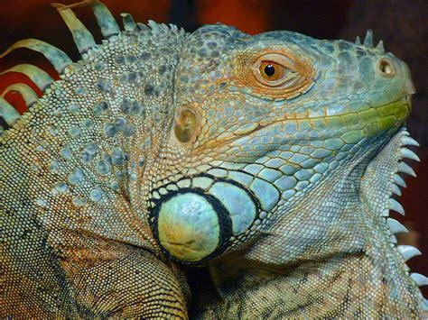 iguana alimentazione zoo virtuale foto iguana
