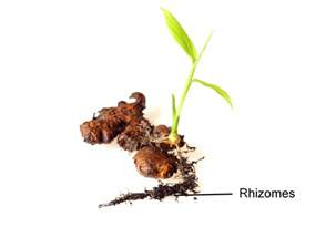 differences and similarities between stolons and rhizomes