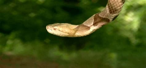 Garden Snake Identification Copperhead Snake Identification Pictures To Pin On
