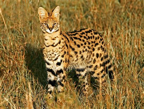 12  Rare Wild Cat Species You Probably Didn?t Know Exist