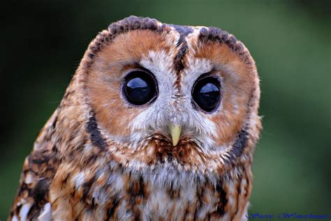what color are owls why do owls different colour owlpedia