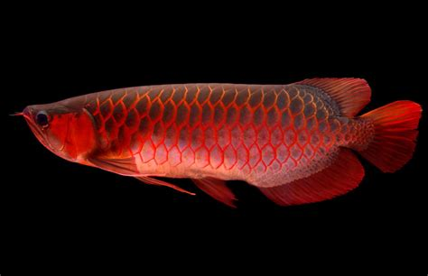 asian arowana fish information and hd pictures other details