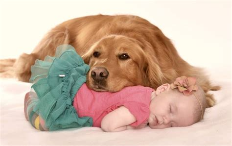 golden retriever newborn and baby photo golden retriever and newborn photography ideas newborn pictures