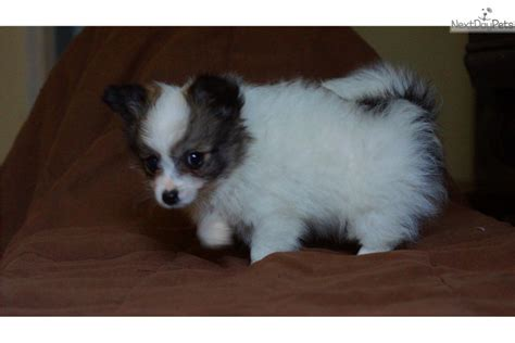 pomeranian near me pomeranian puppy for sale near philadelphia pennsylvania 775bca4d e8f1
