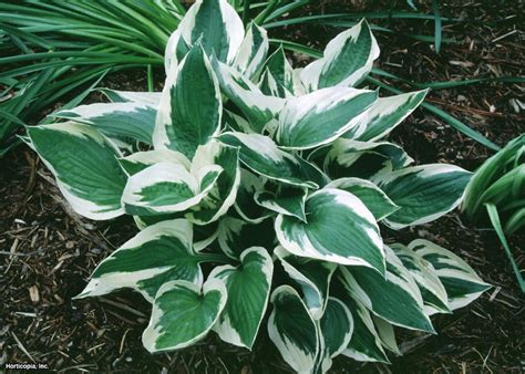 hosta plants hgtv