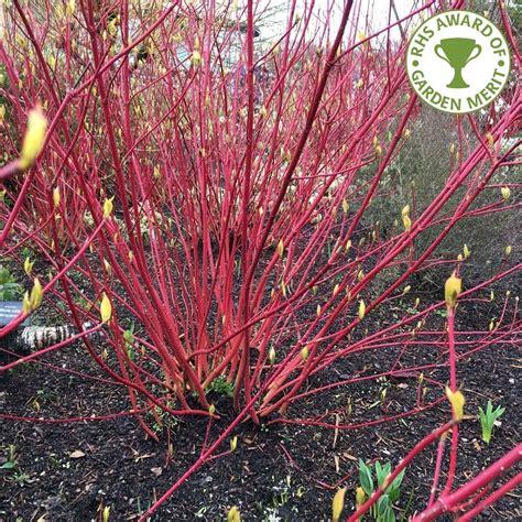 cornus alba sibirica buy red stemmed siberian dogwood