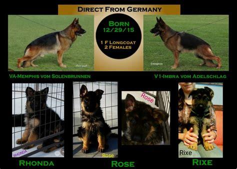 german shepherd puppies san antonio haired german shepherd puppies san antonio dogs in our photo