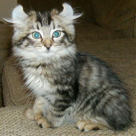Lynx House Cat by 17 Best Images About Highlander Cat On Cats