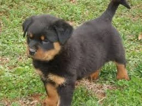 puppies for sale sc rottwieler puppies for sale in charleston south carolina sc cayce beaufort