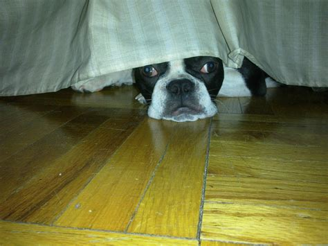 hiding under the bed shea a real new york city dog hiding under the bed