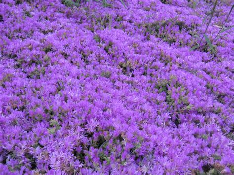 purple ground cover seen throughout carlsbad ca san