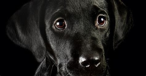how much are black lights black lab pup so cute this is a great pic it s not