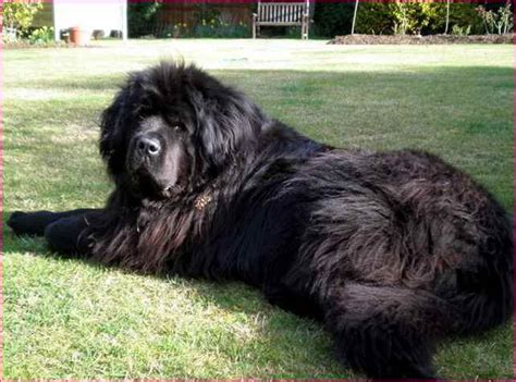 large haired breeds large breed dogs with hair simple image gallery