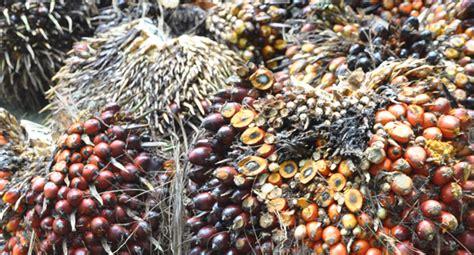 Minyak Kelapa 1 Kg berita sawit harga tbs di aceh utara rp rp1 900 kg