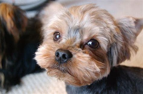 morkie haircuts pictures 1000 images about morkie haircuts on pinterest morkie
