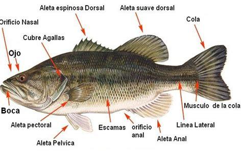 los peces de la 8483835460 cuales son los 211 rganos sensoriales de los peces espesca