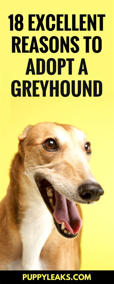 8 Reasons To Adopt A Pet From A Shelter by 18 Excellent Reasons To Adopt A Greyhound Puppy Leaks