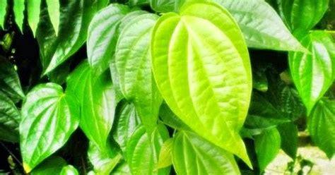 Obat Ejakulasidini Buah Pinang K 20 manfaat daun sirih sebagai obat penyakit tradisional