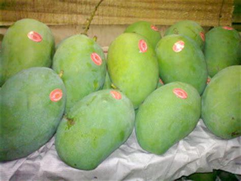 Jual Bibit Mangga Arumanis mangga arumanis kualitas export