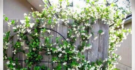 menanam bunga melati  pekarangan rumah jasa tukang
