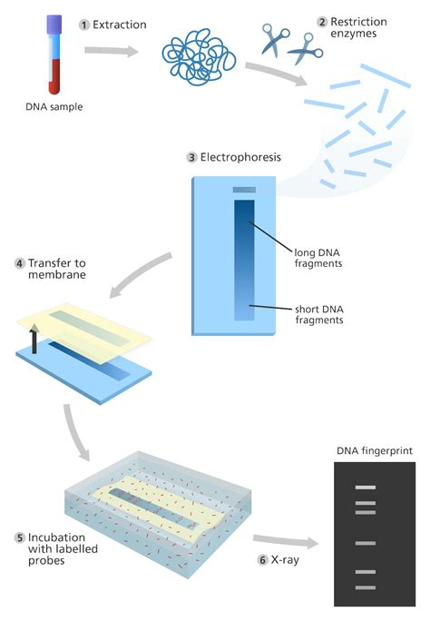 diagram of dna fingerprinting dna fingerprinting diagram www pixshark images