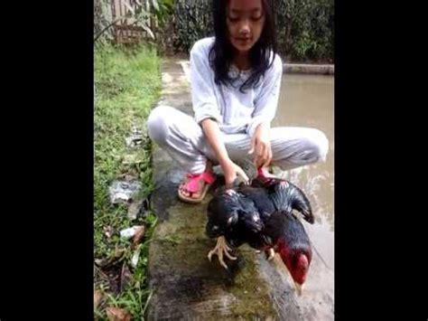 Barbel Kaki Ayam Aduan pelatihan fisik dan kekuatan kaki pada ayam aduan doovi