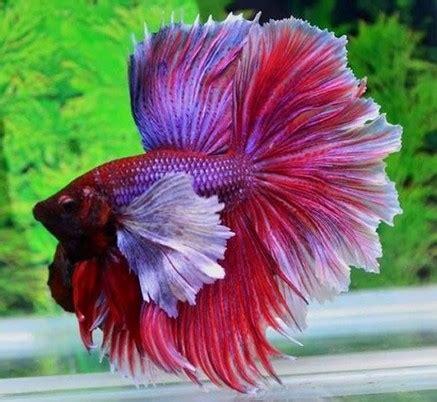 7 kumpulan gambar ikancupang warna dan ekor terbaik didunia ikan laga