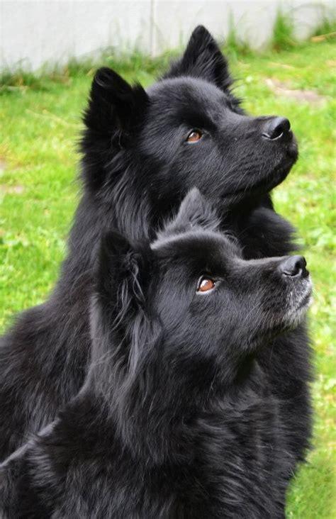 lapphund puppy swedish lapphund svensk lapphund breeds picture