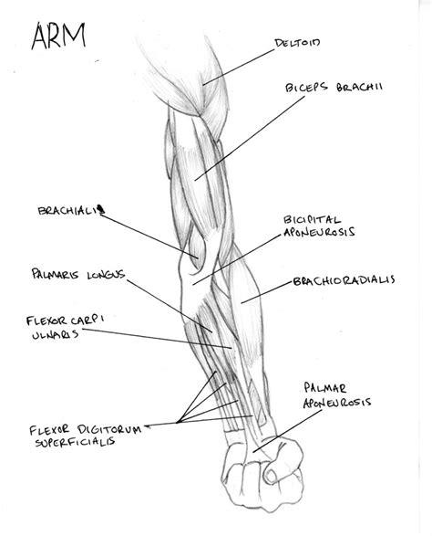 arm bone diagram arm diagram by fmdc on deviantart