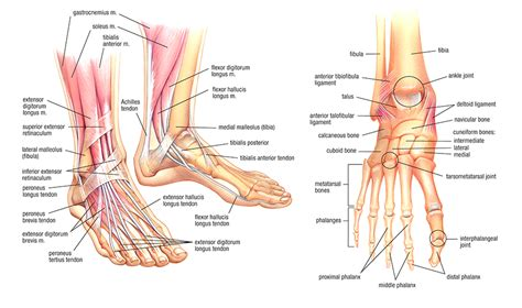 sections of the foot the dancer s essential warm up part 1 the foot and ankle
