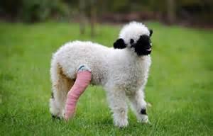 valais blacknose sheep cutest animal