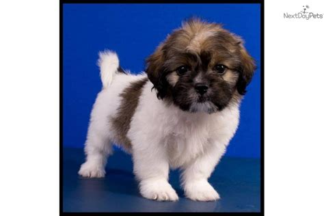 shihpoo puppies for sale shih poo puppies for sale shih poo breed shih poo breeder breeds picture