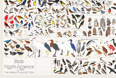 bird breeds every bird species in america in a single poster mental floss