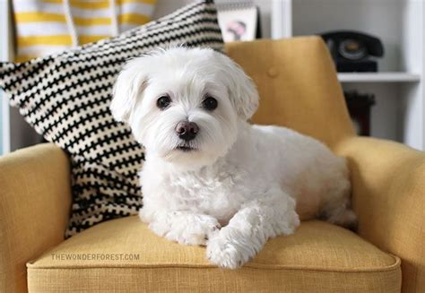 how to dogs at home 25 best ideas about maltese haircut on maltese dogs maltese and baby maltese