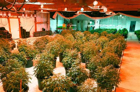 Green Light Grow Room by 60 Best Images About Cannabis Scrog On