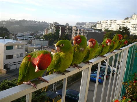 Parrots Of Telegraph Hill the parrots of telegraph hill visit me south bay riders