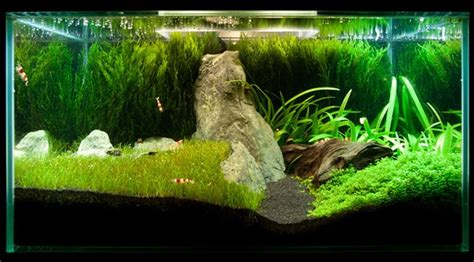 java moss aquascape java moss how to grow carpets walls trees and more