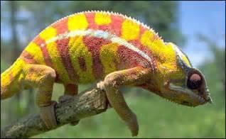 do lizards change colors camale 245 es n 227 o mudam de cor apenas para se esconder