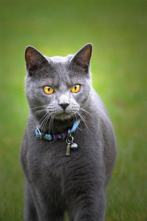 cat breed identify this cat breed breeds picture
