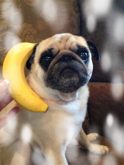 can pugs eat bananas 185 best images about bananas on wear sunscreen boxing and jokes