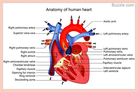what why who where when diagram labled diagram anatomy organ