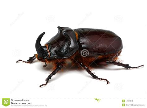 rinoceronte volante big unicorn beetle isolated on white royalty free stock