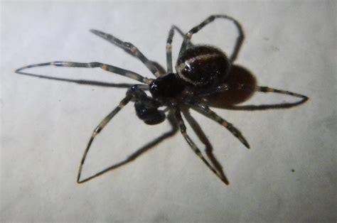 Garden Spider With White Stripe On Back Rabbit Hutch Spider Michigan Spiders