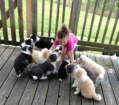 border collie puppies virginia view ad border collie puppy for sale virginia meadowview usa