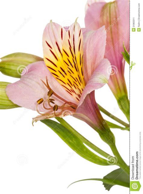 exotische potplanten met bloem bloem alstroemeria potplanten buiten schaduw